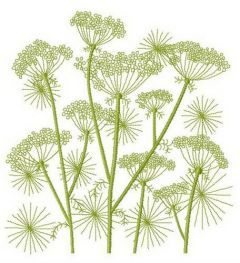 Cow parsnip embroidery design